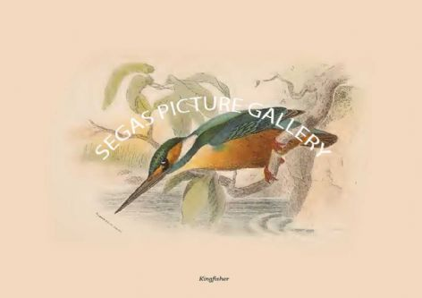 Fine art print of the Kingfisher by R Bowdler Sharpe (1896)